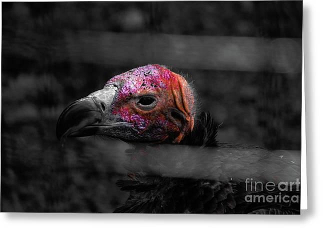 Bw Vulture - Wildlife Greeting Card