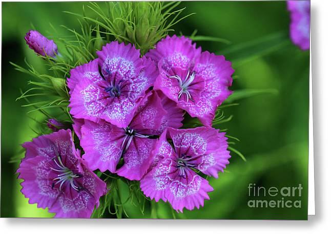 Byzantine Pink Sweet William Flowers Greeting Card by Karen Adams