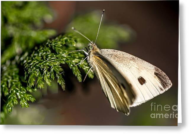 Cabbage Butterfly On Evergreen Bush Greeting Card