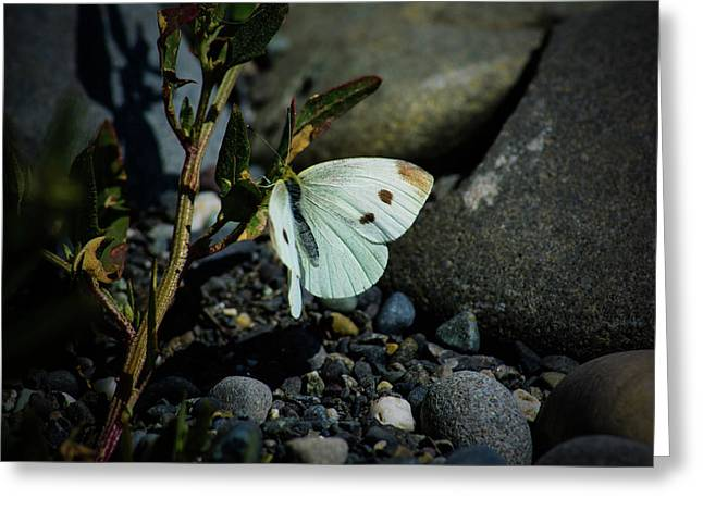 Greeting Card featuring the photograph Cabbage White Butterfly by Tikvah's Hope