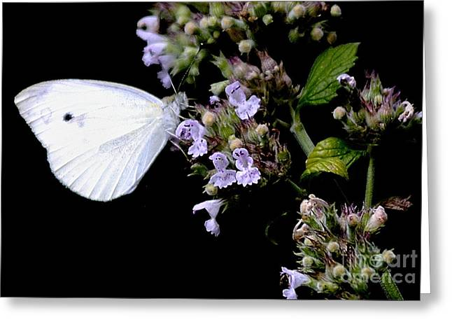 Cabbage White On Catnip Greeting Card by Randy Bodkins