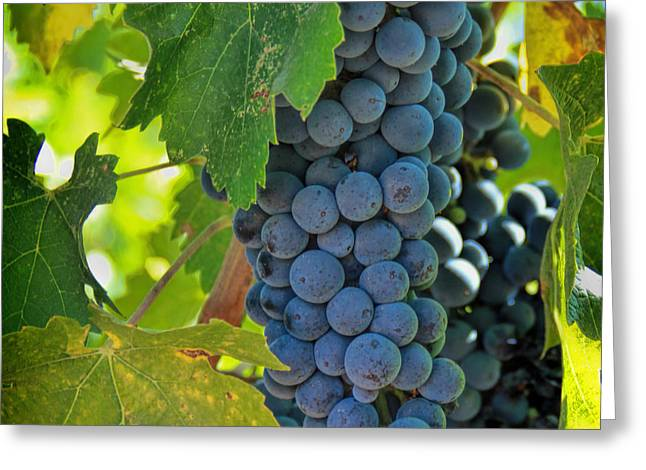 Cabernet Grapes Greeting Card by Nancy Ingersoll