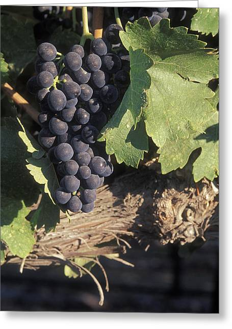 Cabernet Grapes On The Vine In Santa Greeting Card by Rich Reid