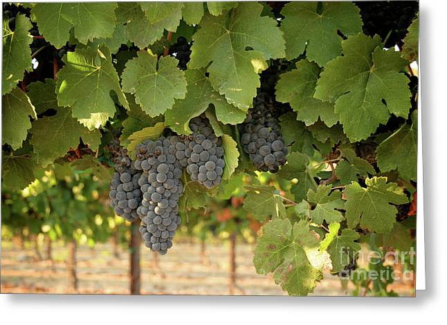 Cabernet Grapes One Greeting Card by Brooke Roby