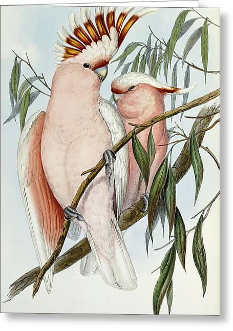 Cacatua Leadbeateri Greeting Card by John Gould