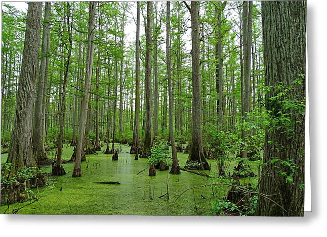 Cache River Swamp Greeting Card by Sandy Keeton