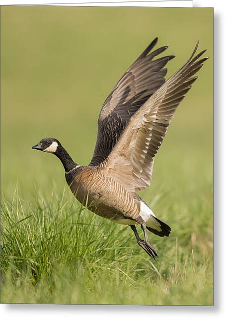 Cackling Goose Greeting Card by Angie Vogel