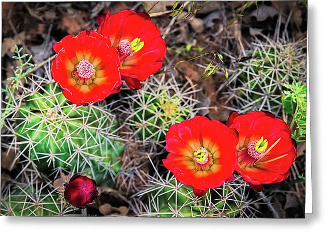 Cactus Bloom Greeting Card by Edgars Erglis