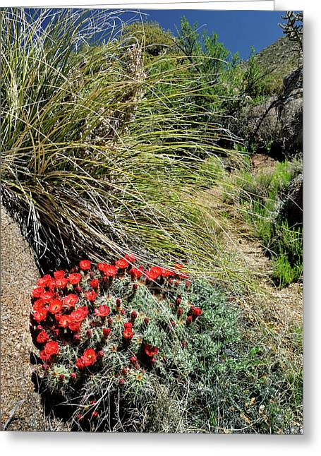 Crimson Barrel Cactus Greeting Card
