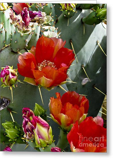 Cactus Blossom Greeting Card by Kathy McClure