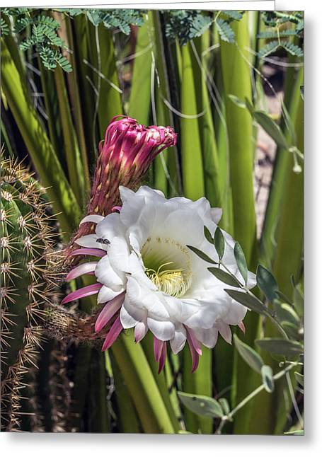 Cactus Flower 7672 Greeting Card by Tam Ryan
