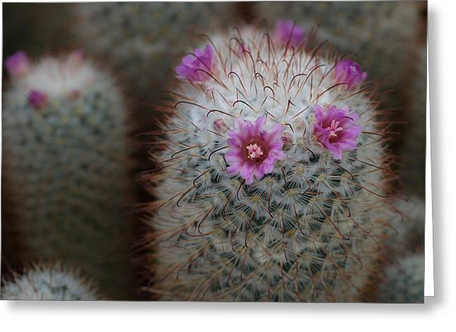 Cactus Flowers Greeting Card by Denise McKay