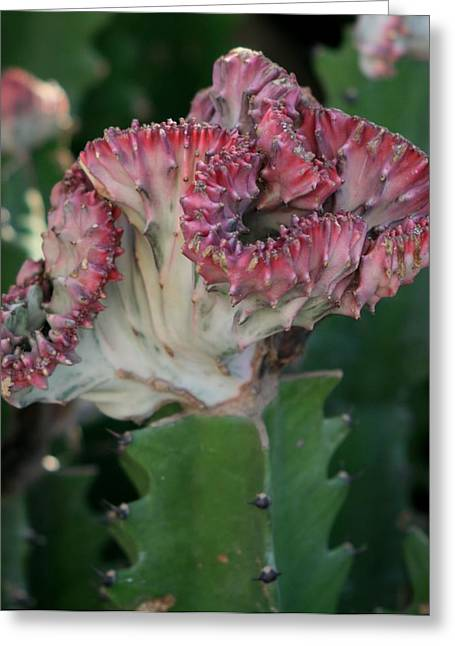 Cactus In Bloom Greeting Card by Valia Bradshaw