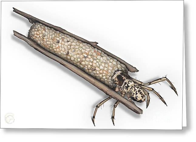 Caddisfly Limnephilidae Anabolia Nervosea Larva Nymph -  Greeting Card