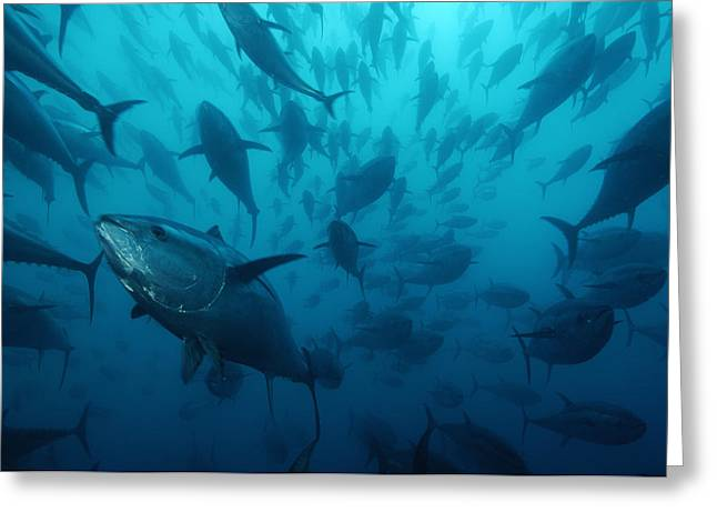 Outdoor Images Greeting Cards - Caged Bluefin Tuna Are Being Fattened Greeting Card by Brian J. Skerry
