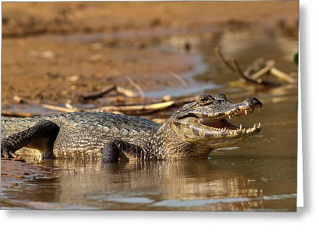 Caiman With Open Mouth Greeting Card