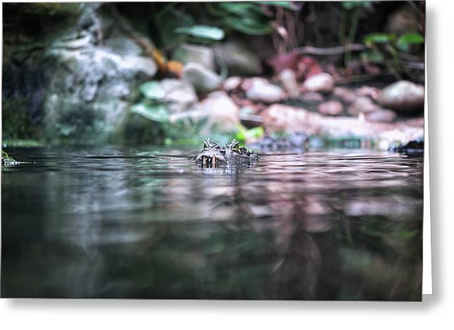 Greeting Card featuring the photograph Caiman by Traven Milovich