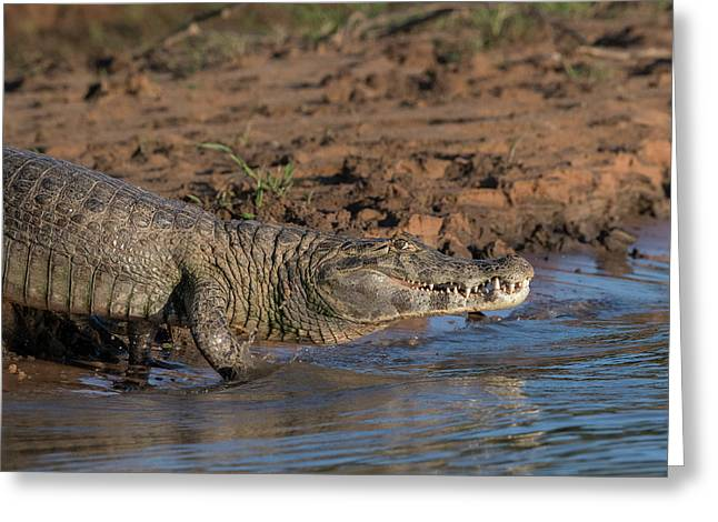 Greeting Card featuring the photograph Caiman by Wade Aiken
