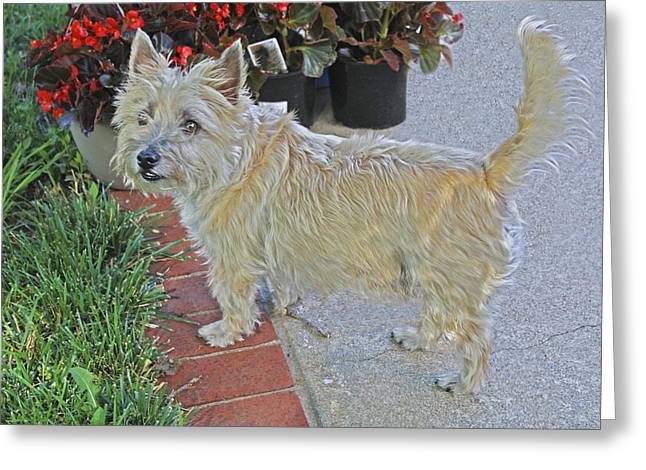 Cairn Terrier On The Patio Greeting Card