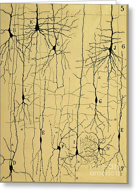 Cajal Drawing Of Microscopic Structure Of The Brain 1904 Greeting Card