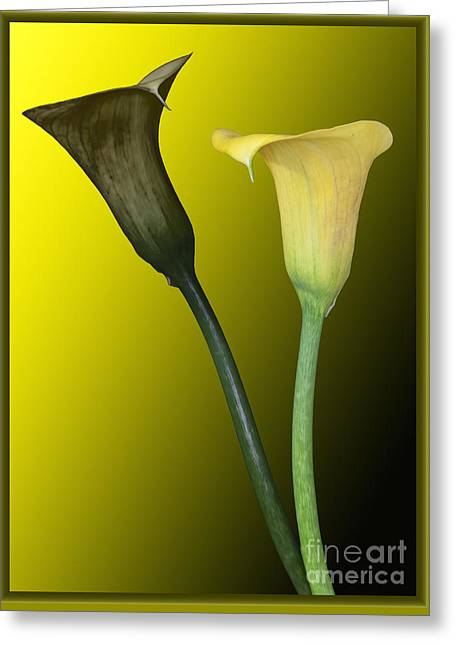 Cala Lilies Opposites Greeting Card