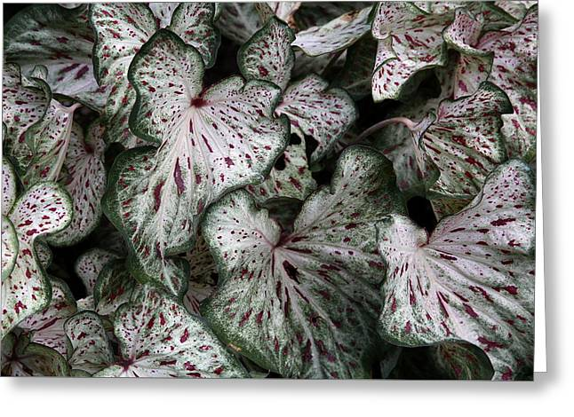 Greeting Card featuring the photograph Caladium Leaves by Debi Dalio