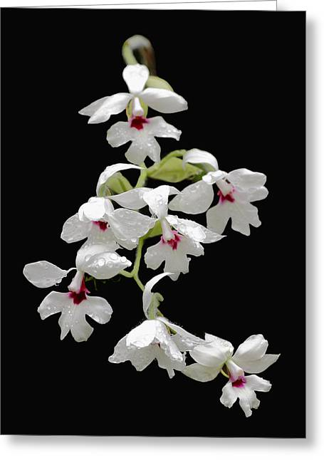 Calanthe Vestita Orchid Greeting Card