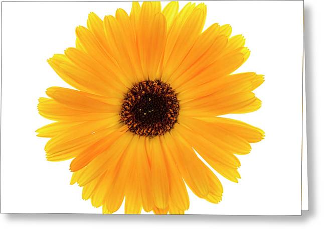 Greeting Card featuring the photograph Calendula Flower by Elena Elisseeva