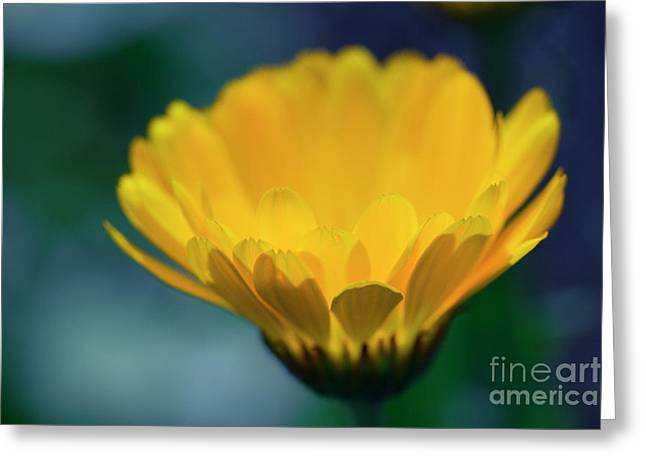 Greeting Card featuring the photograph Calendula by Sharon Mau