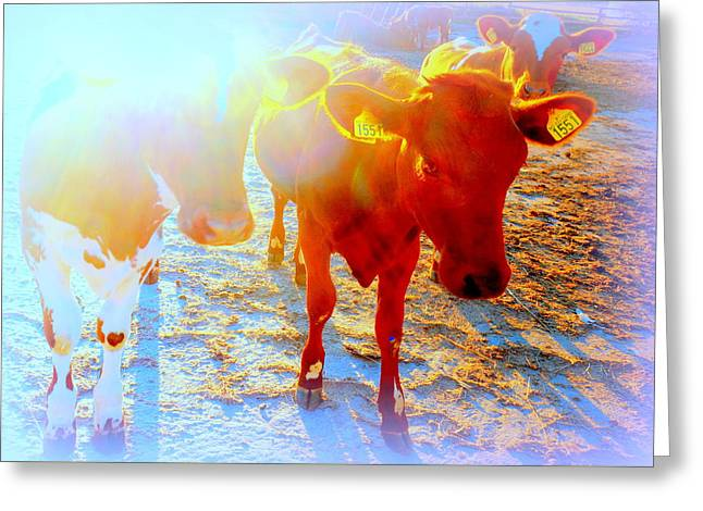 Freedom For The Calfs  Greeting Card