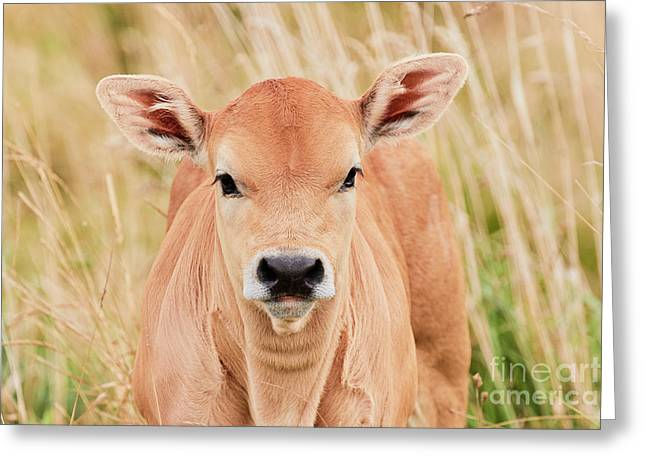 Calf In The High Grass Greeting Card