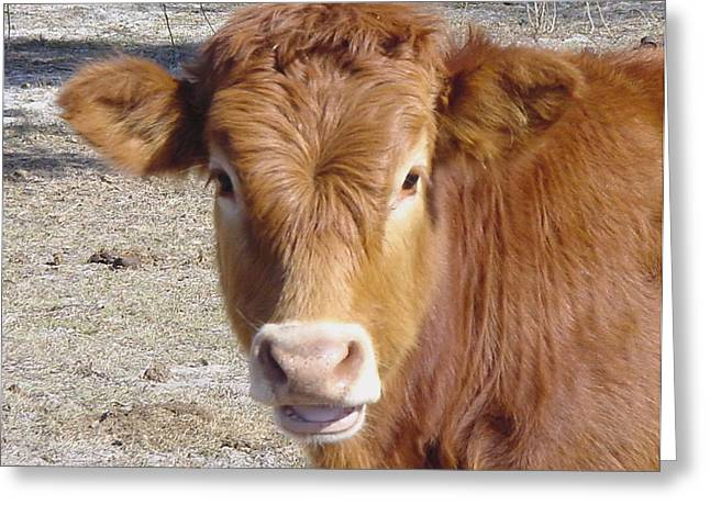 Calf Smiles Greeting Card by Debbie May