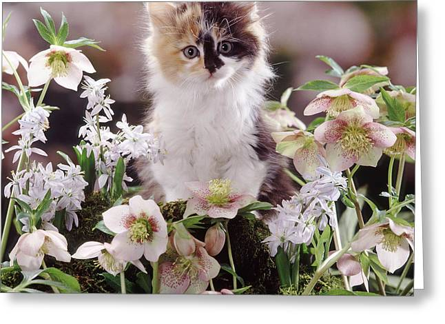 Calico And Scillas Greeting Card