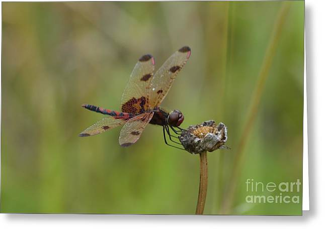 Calico Pennant Greeting Card by Randy Bodkins