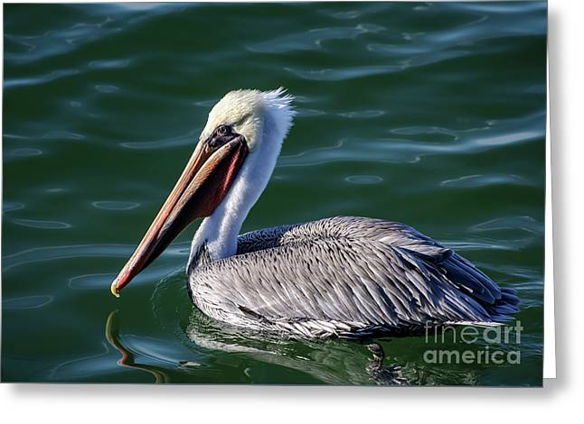 California Brown Pelican In Late Summer Greeting Card