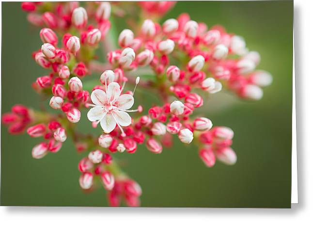 California Buckwheat Greeting Card