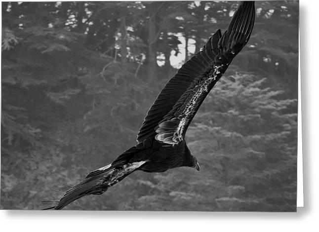 California Condor In Flight II Bw Greeting Card by David Gordon