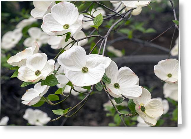 California Dogwood Greeting Card