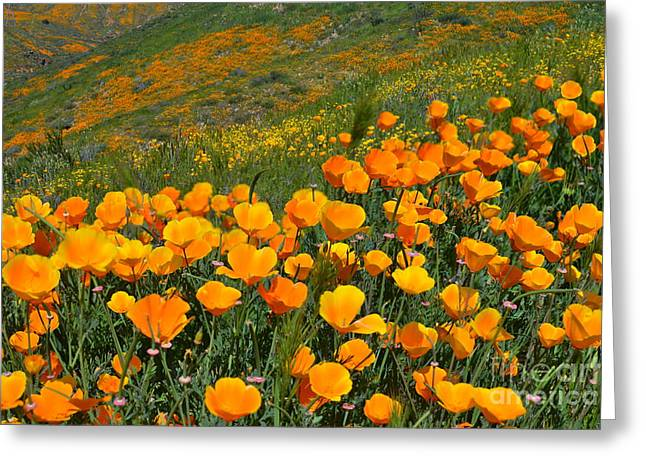 California Golden Poppies And Goldfields Greeting Card