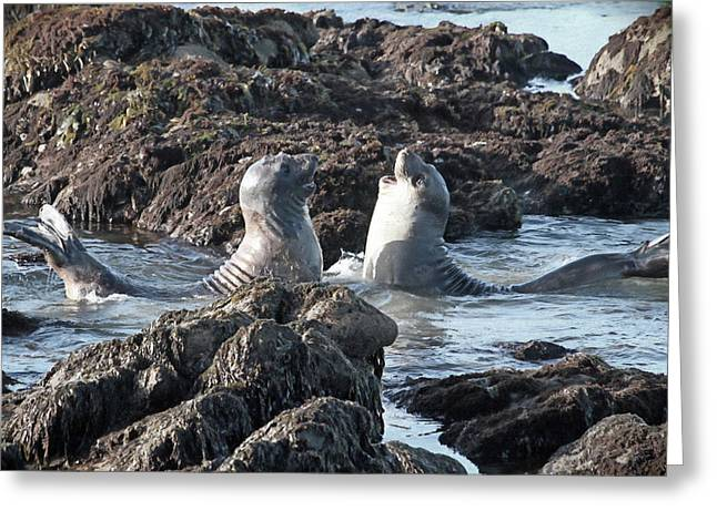 California Happy Seals Greeting Card by Donna Kennedy