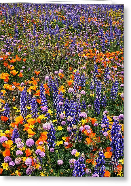 California Poppies And Bentham Lupines In California  Greeting Card