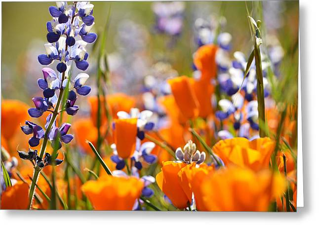 California Poppies And Lupine Greeting Card