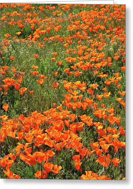 California Poppies- Art By Linda Woods Greeting Card