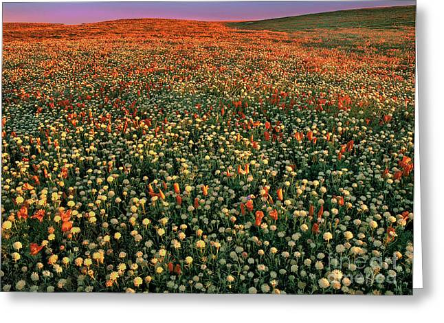 California Poppies At Dawn Lancaster California Greeting Card