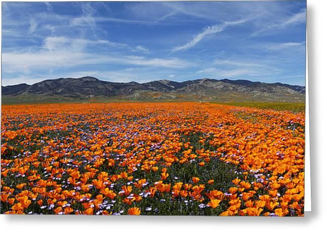 California Poppies Greeting Card by Gary Cloud