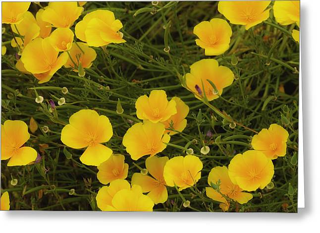 Greeting Card featuring the photograph California Poppies by Sherri Meyer