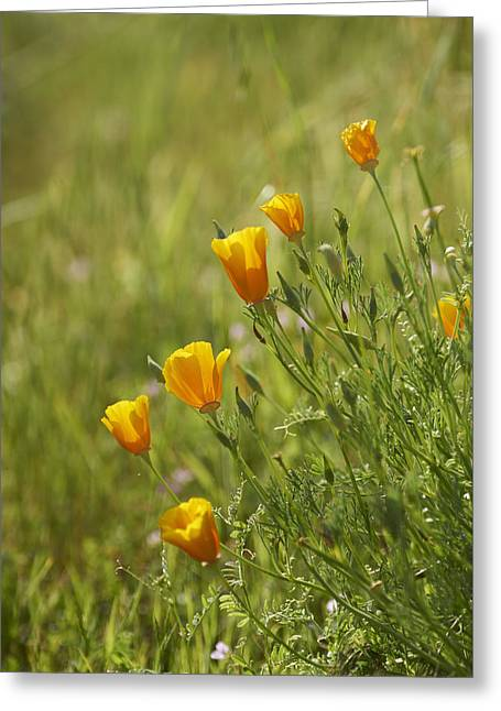 California Poppy Greeting Card by Doug Herr