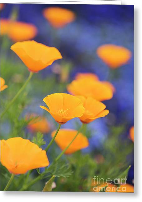 California Poppy Flowers Greeting Card