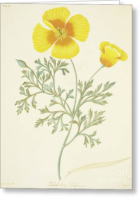 California Poppy Greeting Card by Margaret Roscoe