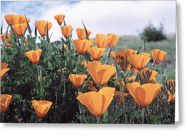 California Poppy Napa Valley Ca Greeting Card by Panoramic Images